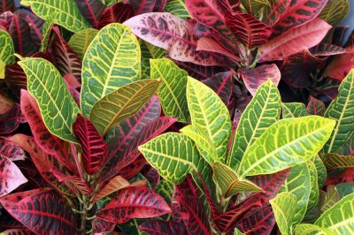Houseplant of the month: Crotons